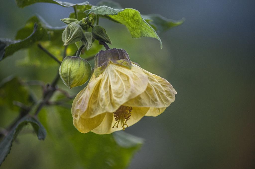 Abutilon Canary Bird Abutilons Are Immensely Rewarding Flickr