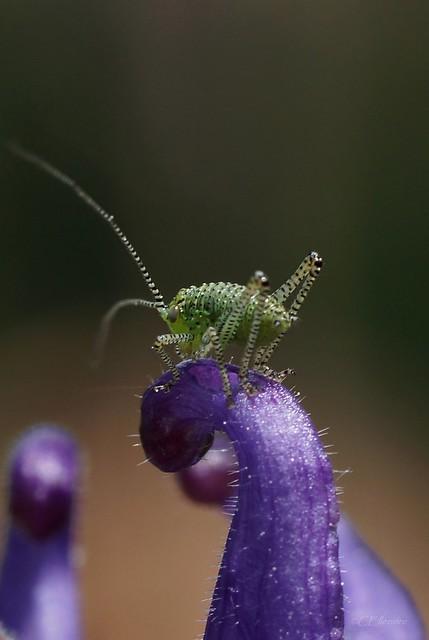 Grashüpfer / grasshopper  (2)