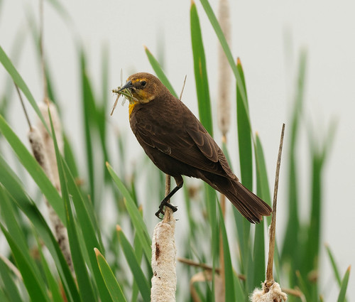 Yellow-headed Blackbird (Female) | by tlhatfield