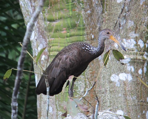 Aramus guarauna / Carrao / Limpkin