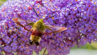 Glasvleugelpijlstaart | by kiekjesdief.nl/vlinders