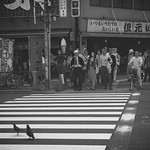 STOP, PIGEONS WALK