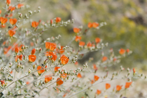 Globemallow blooming in Cottonwood Canyon; 3/24/17