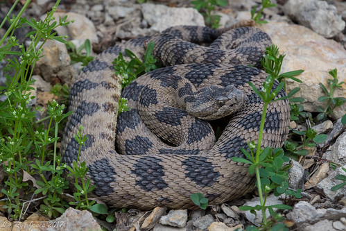Great Basin Rattlesnake-Crotalus oreganus lutosus | by Rye Jones