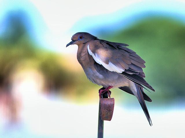 White-winged Dove 02-20170609