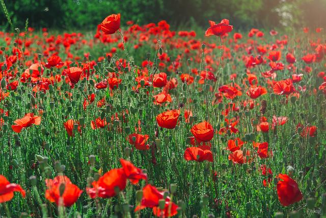 Poppies: #3.
