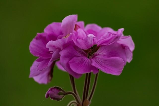 Geranien - Blüte   > Vielen Dank an alle, die sich die Zeit nehmen, meine Fotos anzusehen und zu kommentieren  < < <       > > > Interesting  Thanks to everyone who takes the time to view, comment, and fave my photo. <