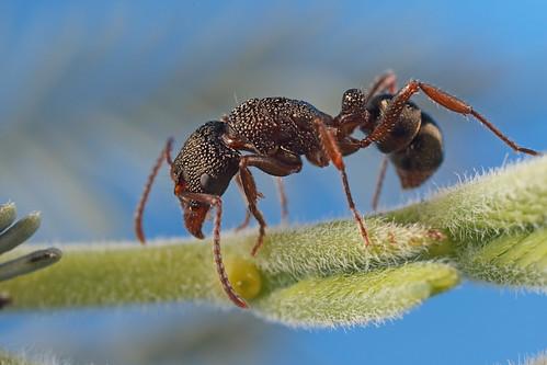 Rhytidoponera Ant