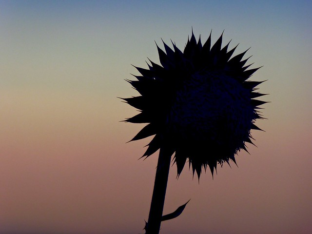 Thistle Flower in Silhouette at Sunset