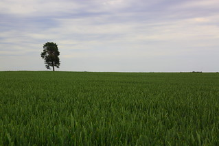 Lonely tree in barley fields