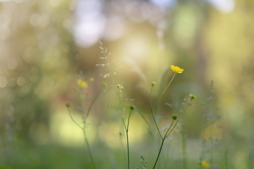Buttercup Meadow..