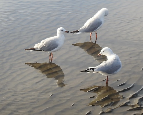 Sea Gulls  at Sandgate (2) | by bertknot