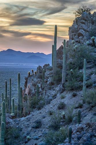 arizona carnegieagigantea cylindropuntiabigelovii gatespass pimacounty sonorandesert tucsonmountainpark usa unitedstates cactus cholla desert landscape outdoor plant saguaro sonoran teddybearcholla