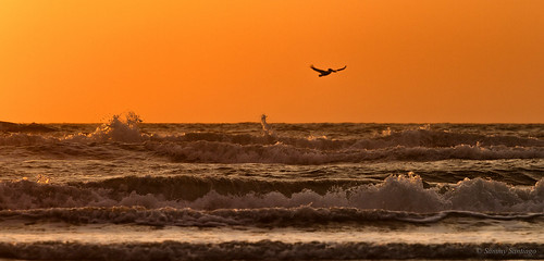 waves sea bird pelican canon7d canonef70200f4l lightroomcc googlenikcollection colorefexpro4