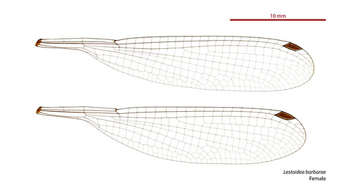 taxonomy:order=odonata wings hindwing geo:country=australia australia forewing dragonfly zygoptera odonata damselfly