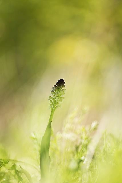 IMG_6661--pentacon-135mm-f-2,8---ophrys-ustulata---ophrys-brûlé-- web