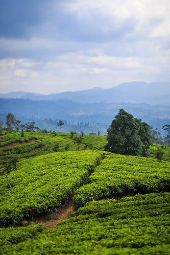 culturedethé voyage campagne 500pxcomsebmar nophotoshop asie landscape ciel vert flickrcomsebmar paysage srilanka couleursfroides bleu ©sébmar plantation