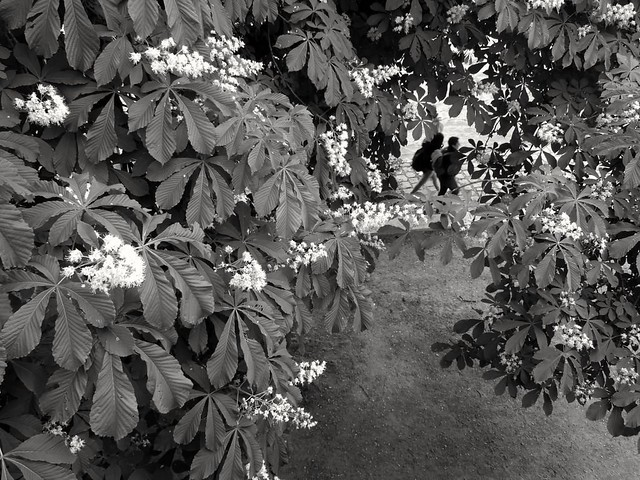 A travers le marronnier.. Through the chestnut tree...