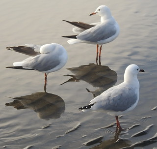 Sea Gulls  at Sandgate (6) | by bertknot