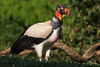 King Vulture by Jmawnster