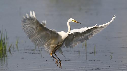 elegant white flappy bird greatwhiteegret ardeaalba hamwall somerset levels