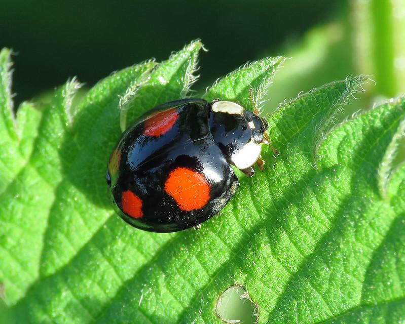 Harelquin Ladybird - Harmonia axyridis