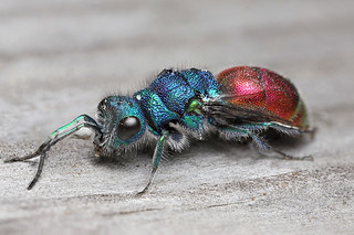 Ruby tailed wasp #3 | by Lord V