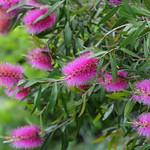 ブラシノキ(紅紫) Bottlebrush (light majenta)