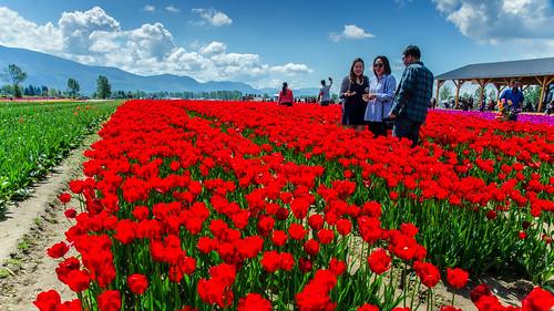 tulipfarm chilliwack festival red flowers tulips harvest nikon dslr d7000 wideangle britishcolumbia canada landscape