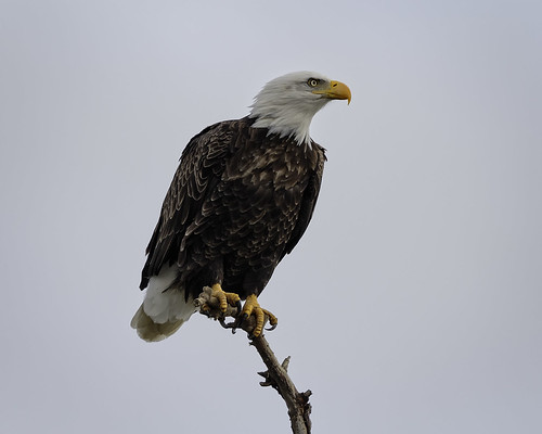 Bald Eagle #17 | by lennycarl08