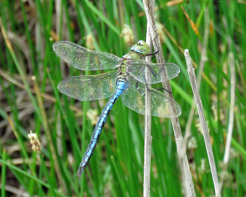 Emperor Dragonfly - Anax imperator