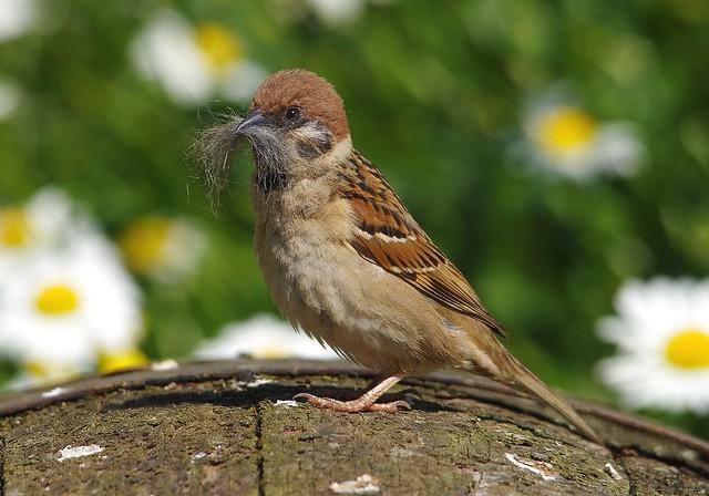 tree sparrow (5)