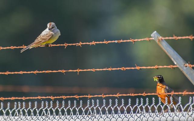 Western Kingbird and intruder