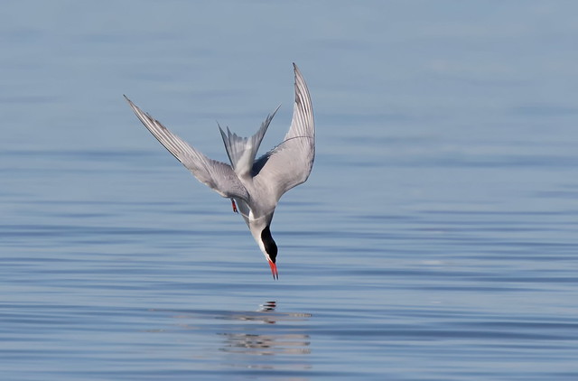 Common Tern diving.