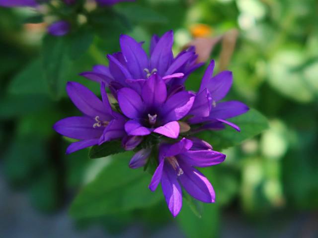 1 Hang Over in Purple