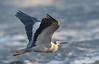 White-faced Heron - in flight by Free_aza_Bird