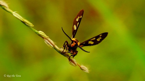 Moth Grass | by Raj the Tora