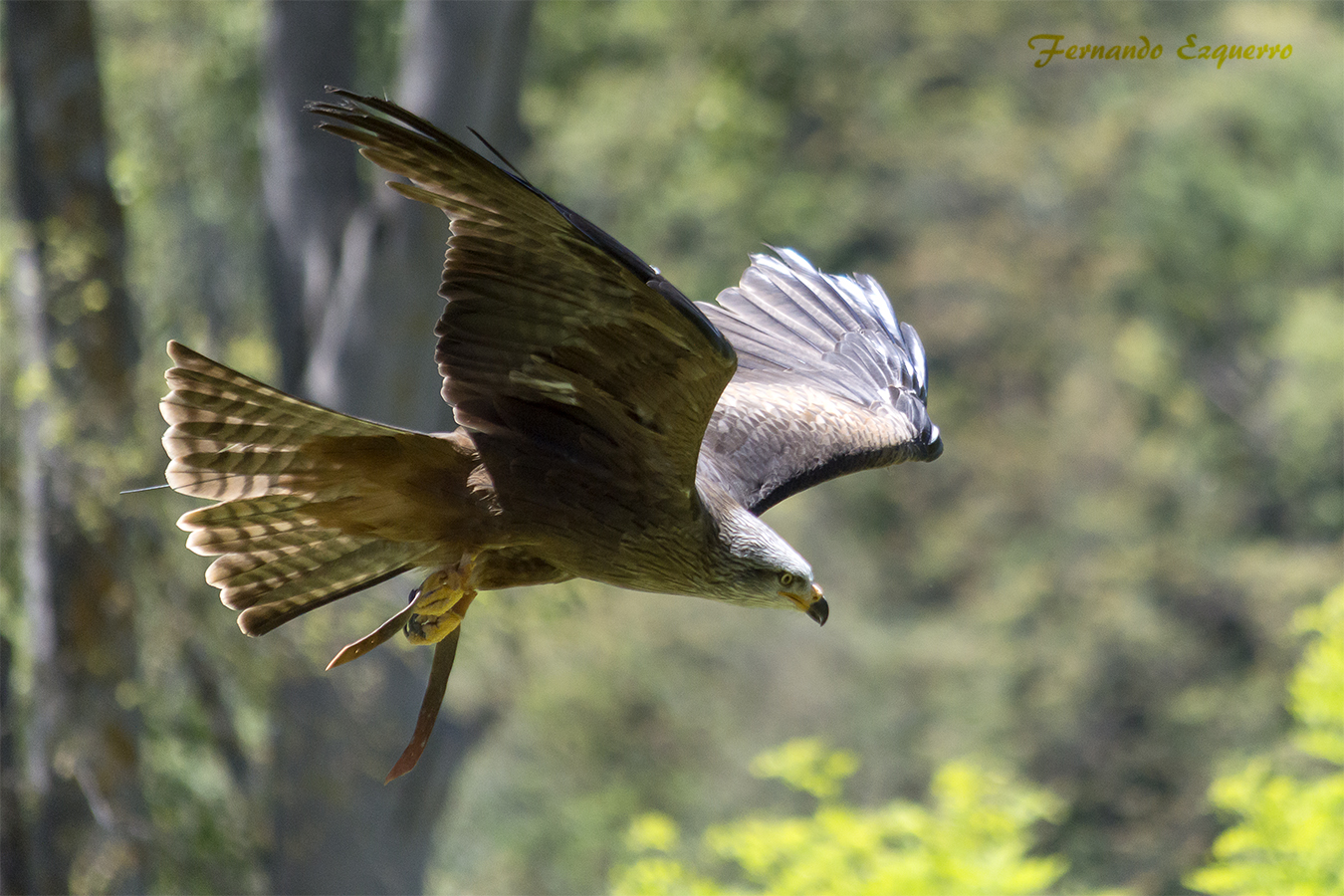 Exhibición de Vuelo de Aves Rapaces