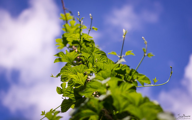 The Hops are growing