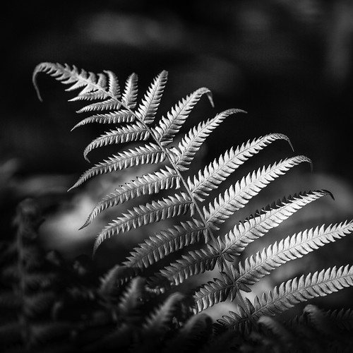 100mm 2013 bayoubend harriscounty houston mabrycampbell march tx texas us usa unitedstates unitedstatesofamerica blackandwhite fern ferns fineart fineartphotography image intimatelandscape macro nature photo photograph photography plant spring springtime squarecrop f28 march122013 201303120h6a1254 ¹⁄₂₀₀₀sec 100 ef100mmf28lmacroisusm fav10 fav20 fav30 fav40 fav50 fav60