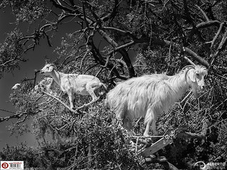 Goats on argan tree | by Alesfra