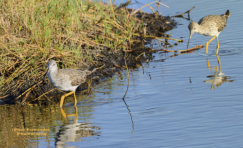 greateryellowlegs yellowlegsgreater yellowlegs tringamelanoleuca merrittislandnwr blackpointwildlifedrive blackpoint merrittislandnationalwildliferefuge merrittisland nationalwildliferefuge nwr florida paulfernandez
