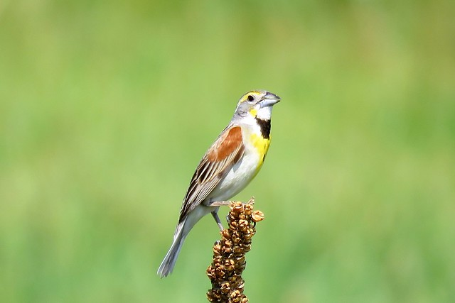The Summer of the Dickcissel