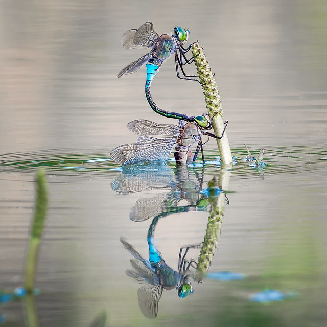 Laying eggs... | Photo of the year 2017 in 'Nature's Golden Carousel' | '.: Dragonfly & Damselfly Addicts :.' group avatar
