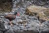 Black Oystercatcher (Haematopus bachmani) feeding her eight-day-old chicks, Cannon Beach, Oregon by diana_robinson