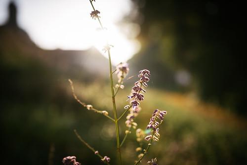 sommer summer berlin flower blumen pflanze flowers plants sonne sun gegenlicht light licht sonnenstrahlen strahlen sunrise sonnenaufgang morning morgen early früh nikon blüten blüte blossom bloom d810 sigma 35mm dof depthoffield bokeh natur nature golden hour goldene stunde goldenestunde goldenhour sunset sonnenuntergang