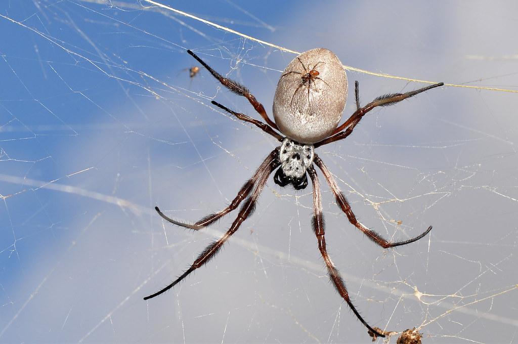 Golden Spider Solitär Gratis