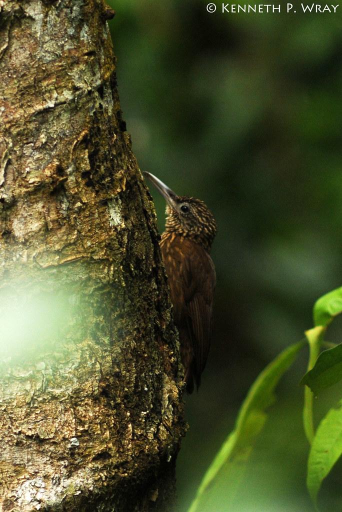 Xiphorhynchus guttatus (Buff-throated Woodcreeper)