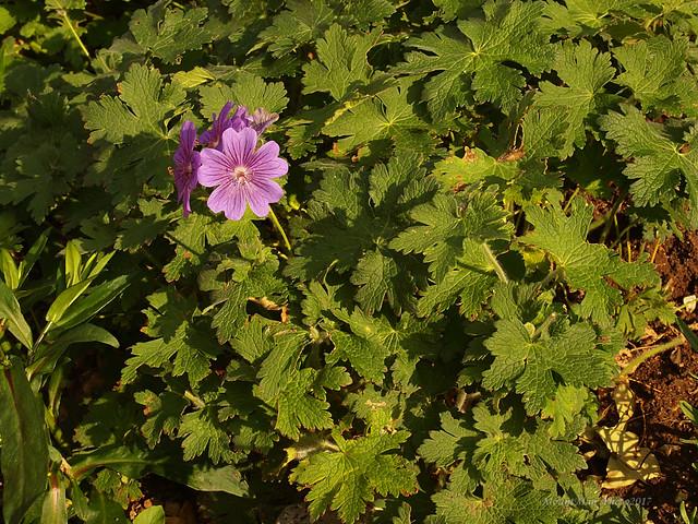 Iz vrtova cvijeća s kamenjara u Slumu kod gospođe Anite (16)