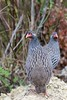 Red-necked Spurfowl (Pternistis afer), Wilderness, Western Cape, South Africa by Daniel J. Field